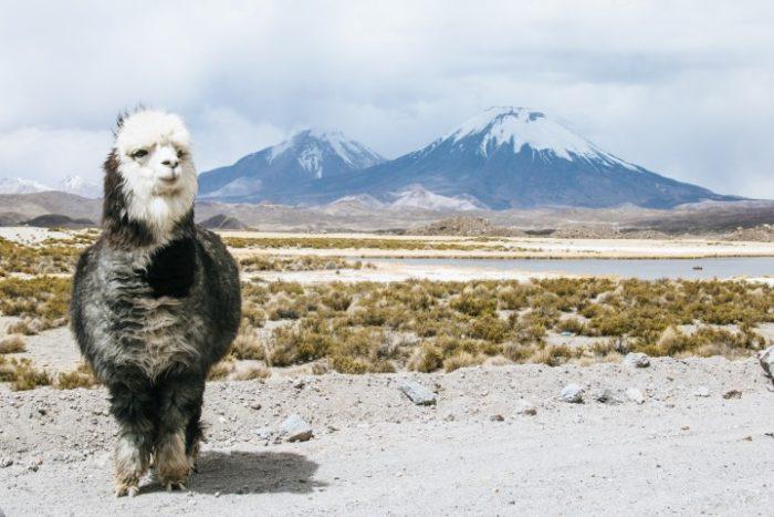 BarfussUmDieWelt-Chile-Chungara-Alpaka-barfuß