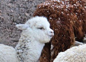 BarfussUmDieWelt-Polare-Schritt-Chile-Chungara-Alpaka-Fell-auf-den-Augen-barfuß