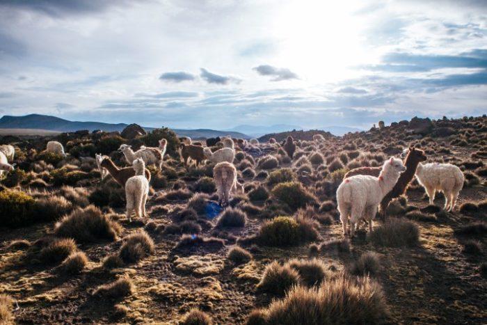 BarfussUmDieWelt-Polare-Schritt-Chile-Parinacotta-Ausblick-Berge-Alpakaherde-barfuß