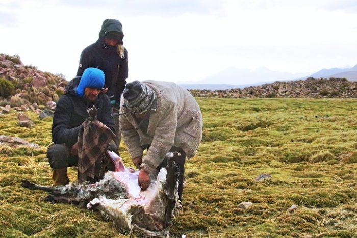 BarfussUmDieWelt-Polare-Schritt-Chile-Parinacotta-Schlachtung-Marta-Kata-Jonathan-Alpaka-barfuß