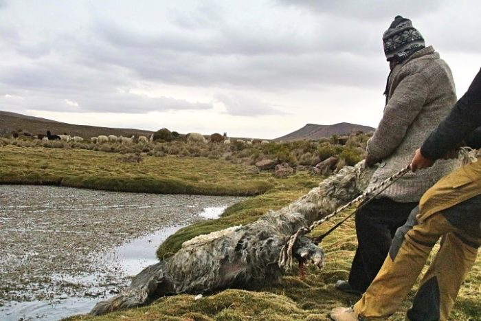 BarfussUmDieWelt-Polare-Schritt-Chile-Parinacotta-Teich-Alpaka